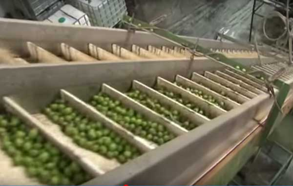 como se hace el aceite de oliva