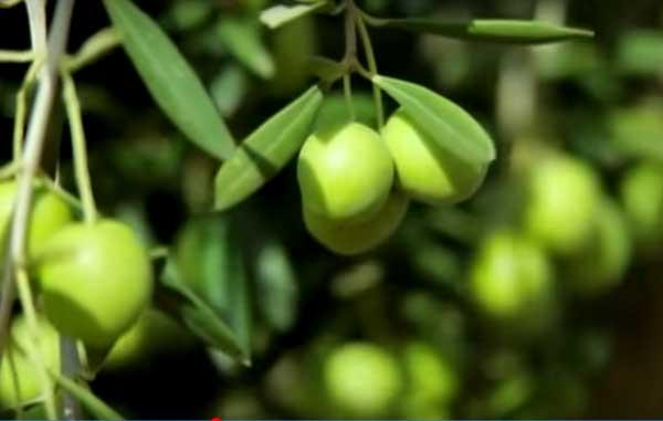 aceitunas en arbol