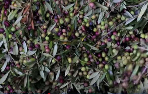 recoleccion aceite de oliva