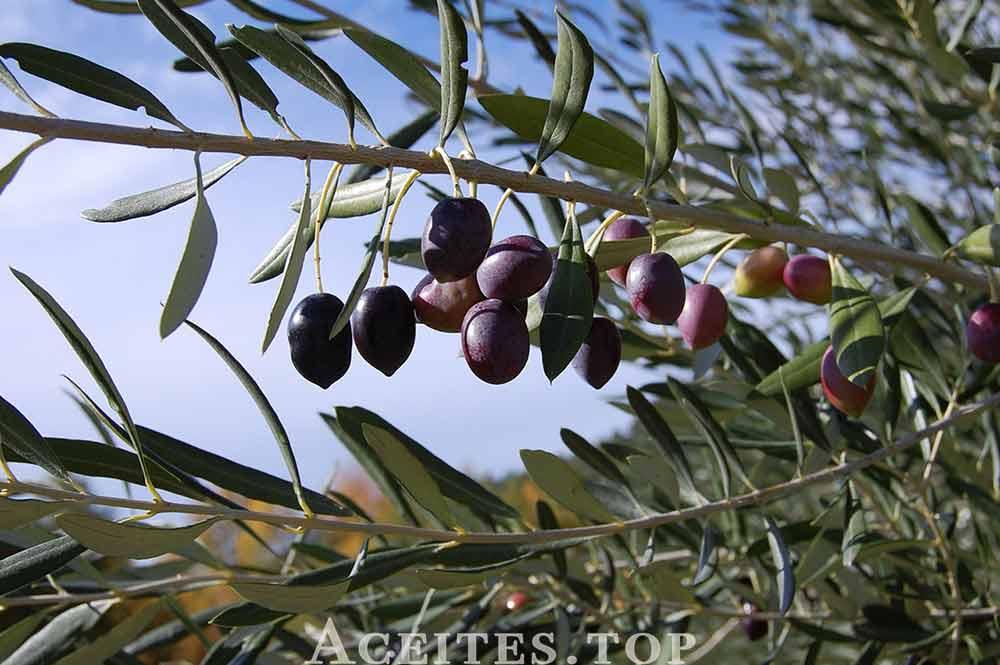 historia aceite de oliva
