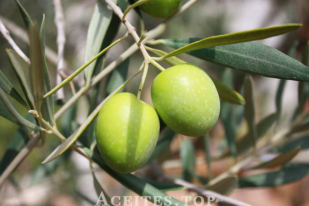 olivas en árbol
