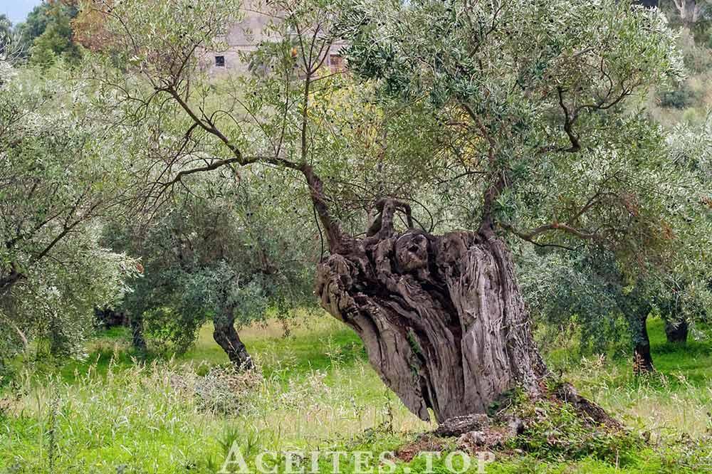 olivo tronco retorcido