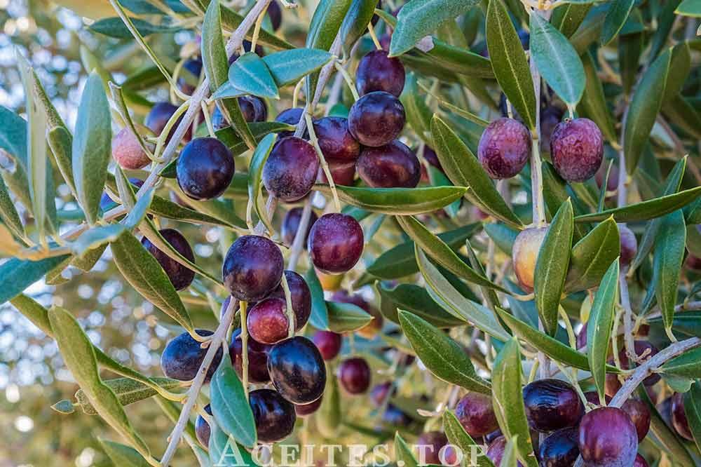 frutos del olivo