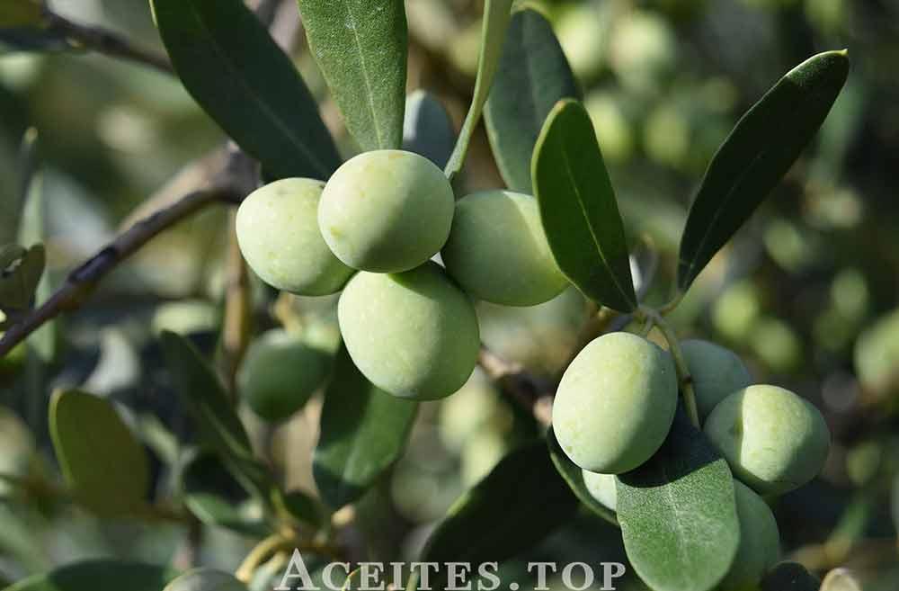 concursos aceite de oliva