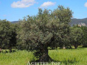 olivos antiguos