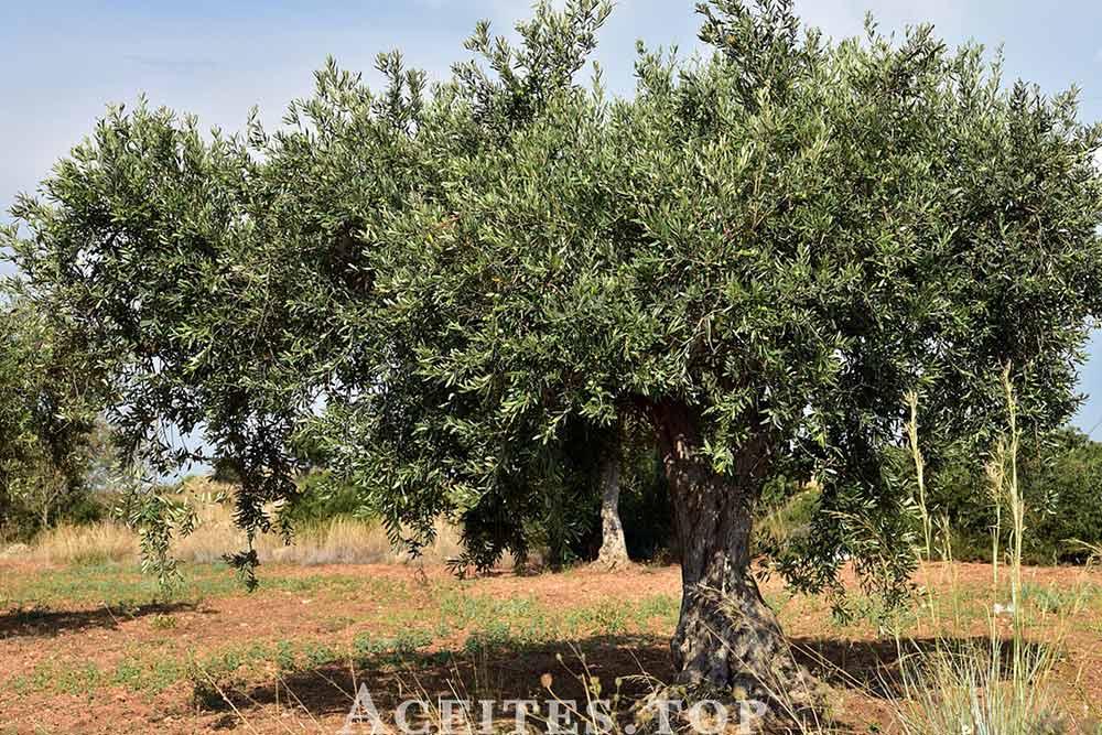 árbol del olivo