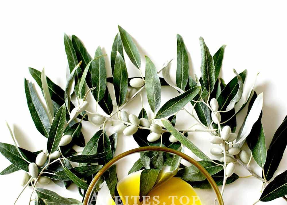 hojas olivo