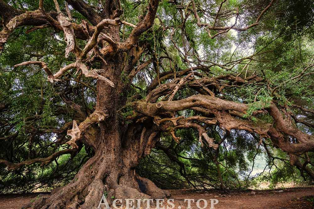 Ramas olivo monumental