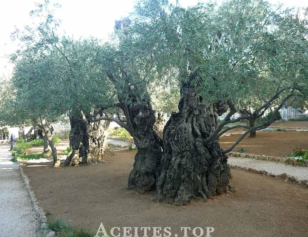 Olivo tronco extra grande