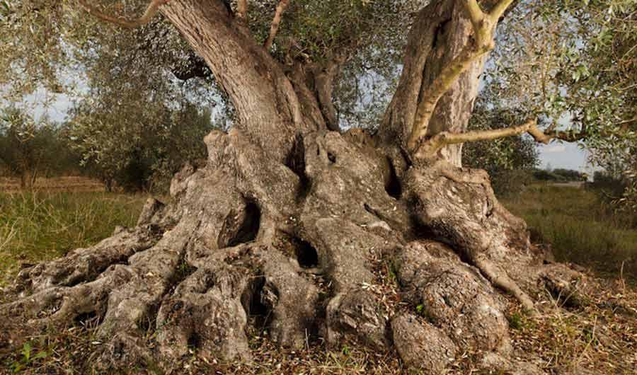 olivo-antiguo