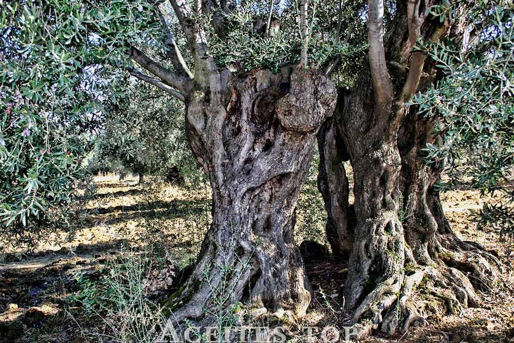 tronco olivo grande