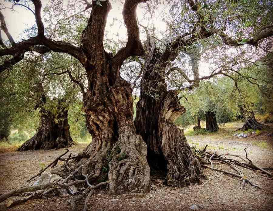 Olivo de Caín, en la Alta Axarquía Malagueña