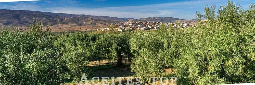 Plantación olivar españa