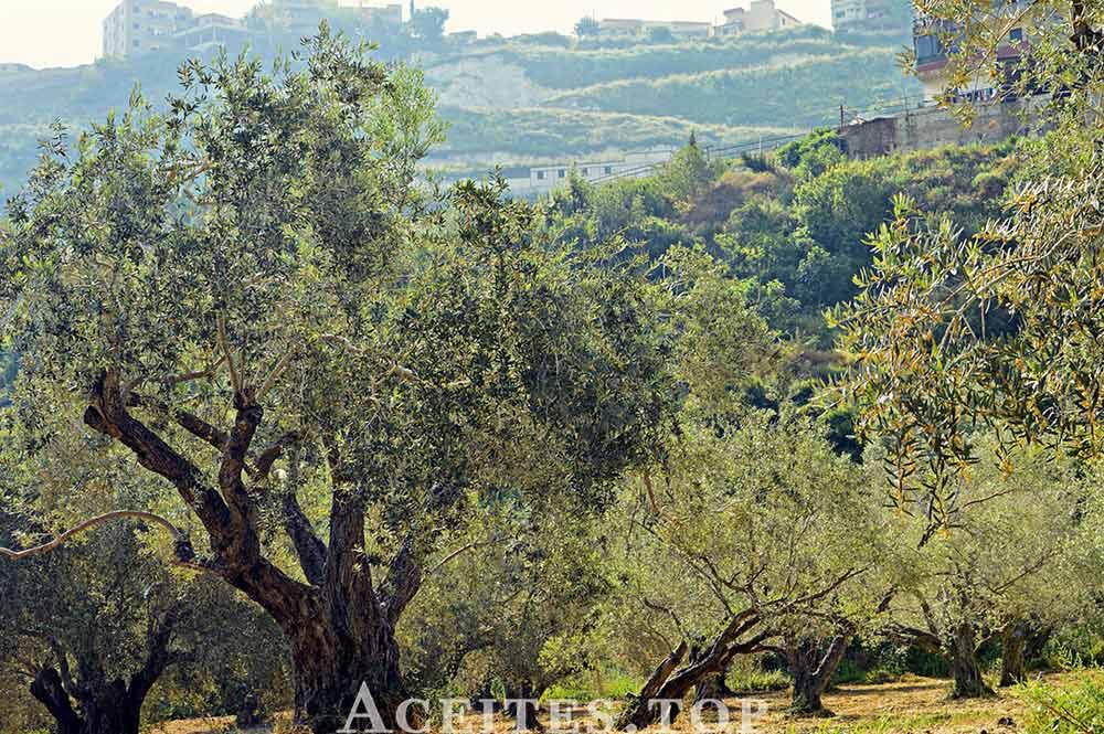 olivar de montaña