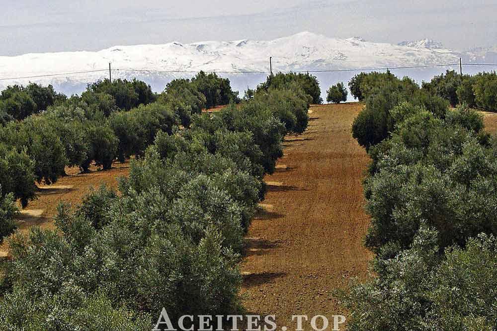Suelo del olivar