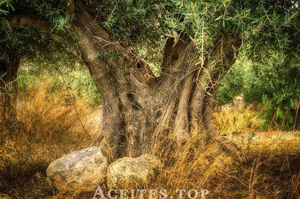 Tronco olivo monumental