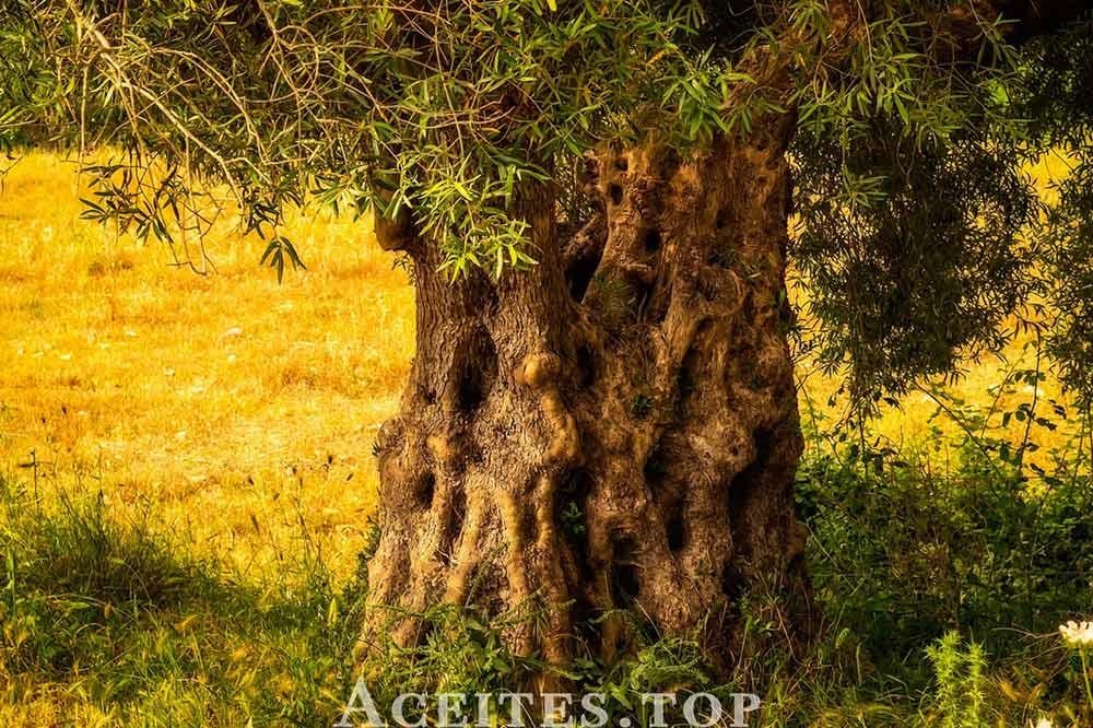 tronco-olivo-grande